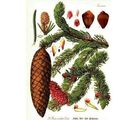 abete rosso Picea abies