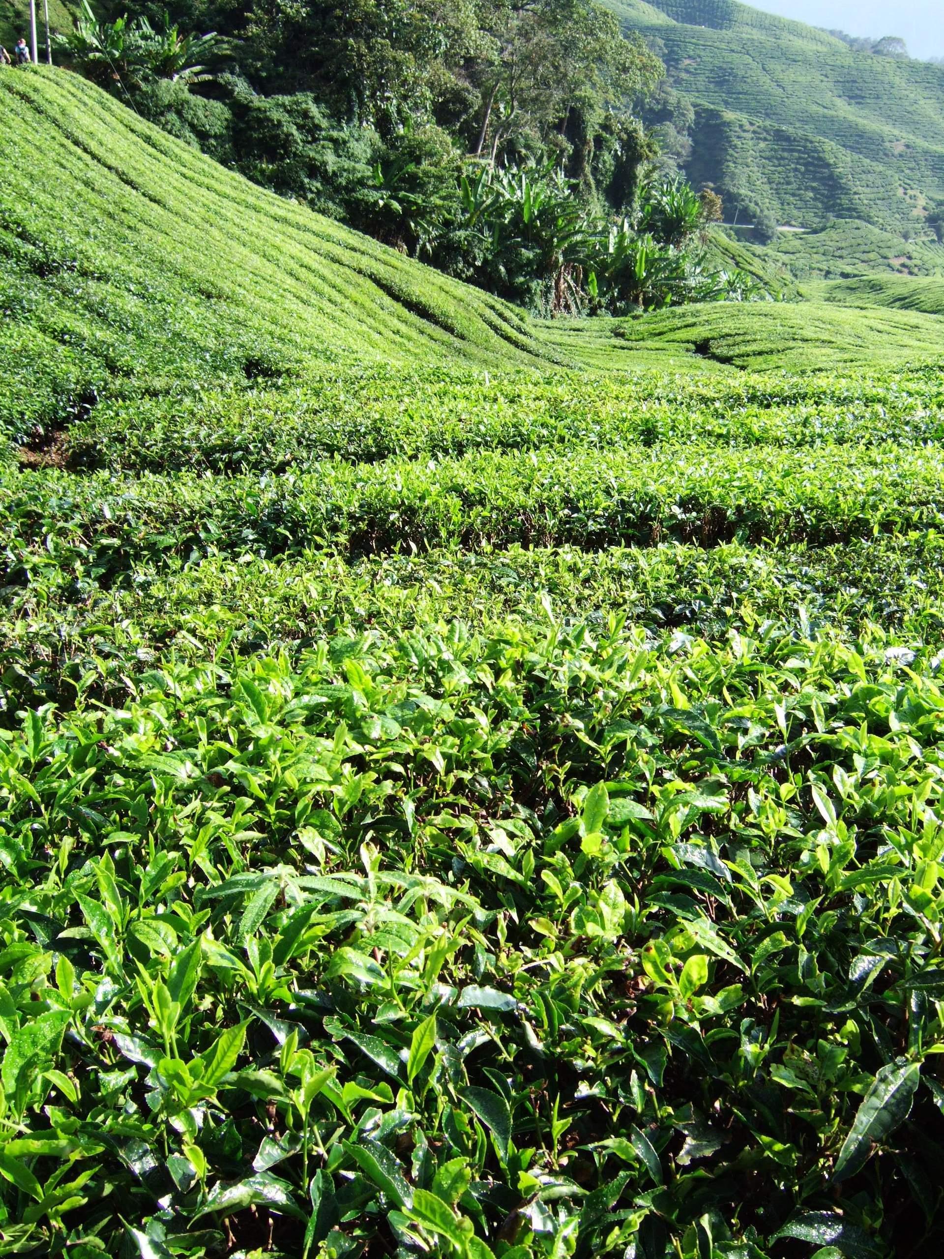 coltivazioni di tè