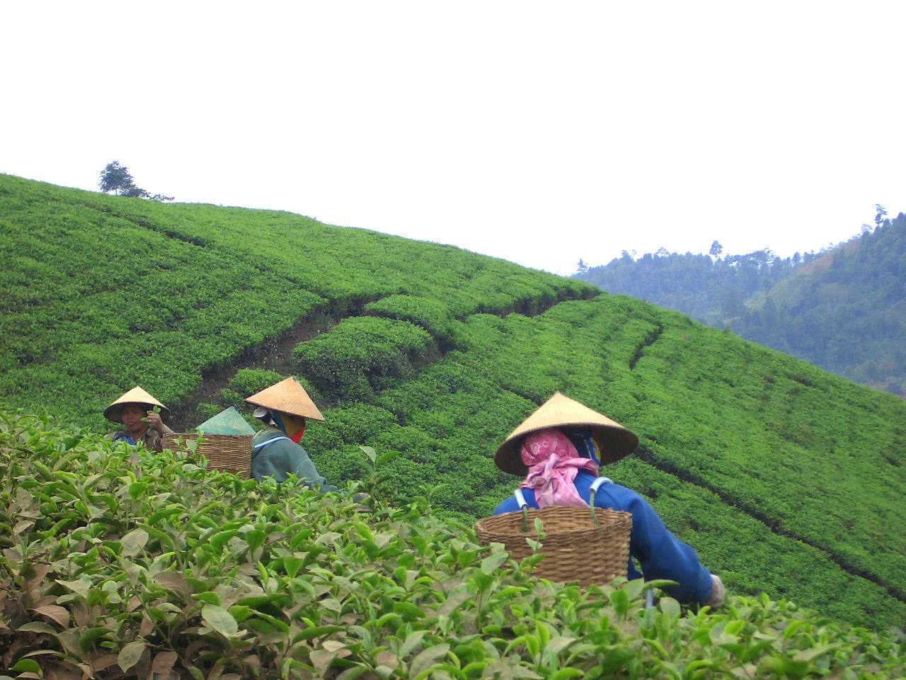 tea recolectors 1379965