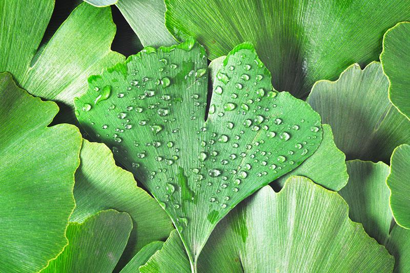 zao make up ingredients estratto foglie gingko biloba