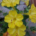 enotera olio e semi erboristeria erbetue 1